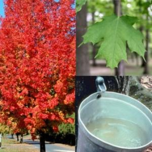 Acer saccharum