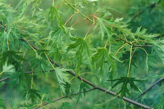 Acer saccharinum 'Silver Queen'