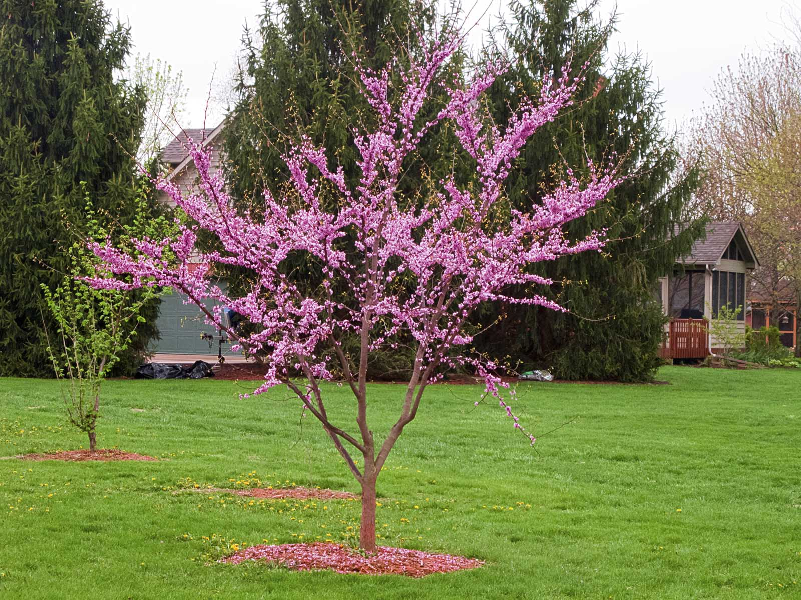 Cercis Canadensis Greenup Greenup