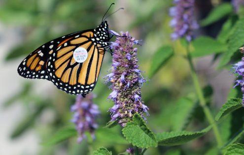 Observing Monarchs is a wondrous part of summer