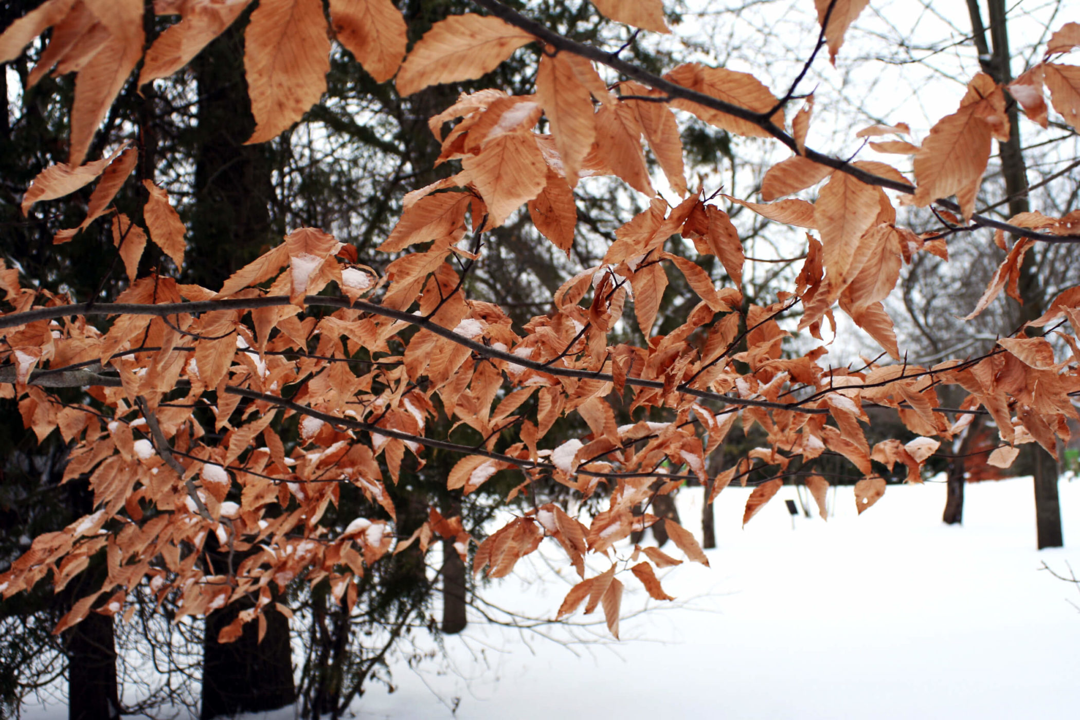 Beech and ironwood trees keep their leaves through the winter, adding visual and auditory textures to your garden during what can otherwise be bare and silent time of year. Photo: Beech Tree at GreenUP Ecology Park.