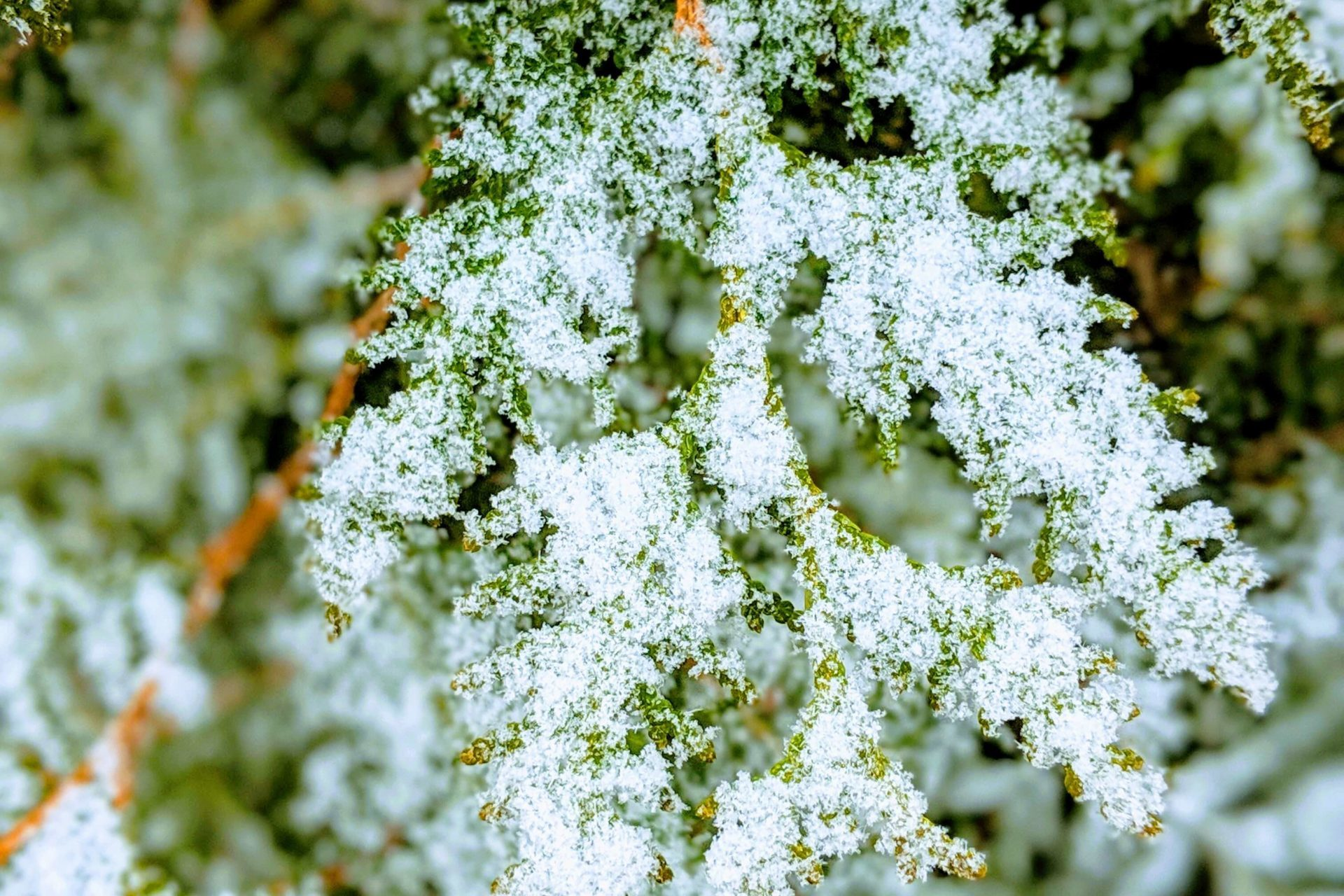 Cedar is a great option if you want to add a touch of green in your winter garden. Photo: snow on cedar at GreenUP Ecology Park.